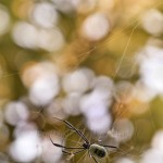 Golden Orb Weaver