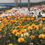 West Coast daisies