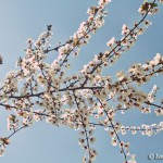 blossom tree in Gendadendal