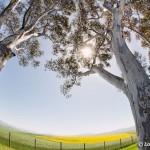 Eucalyptus and canola fields