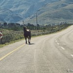 Horse in the road outside of Greyton