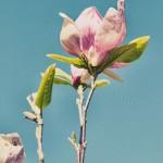 Magnolia in Genadendal