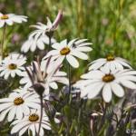 West coast daisies in Grabouw