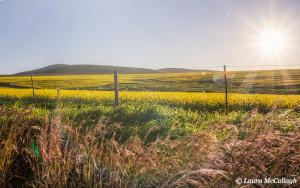 Canola field outside Malmesbury
