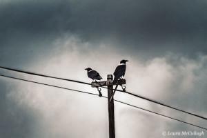 Roadside crows