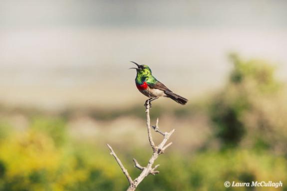 double collared sunbird in Kraalbaai