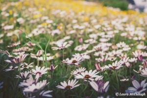 Langebaan - west coast daisies