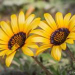 Flowers in Tietiesbaai