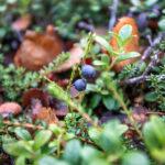 Abisko: blueberries