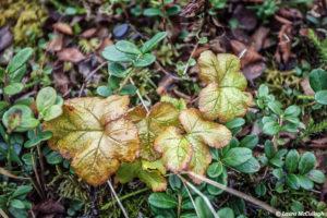 Abisko: Cloudberry leaves