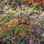 Abisko: dead cloudberries