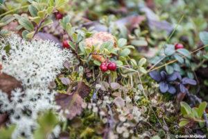 Abisko: lingon berries