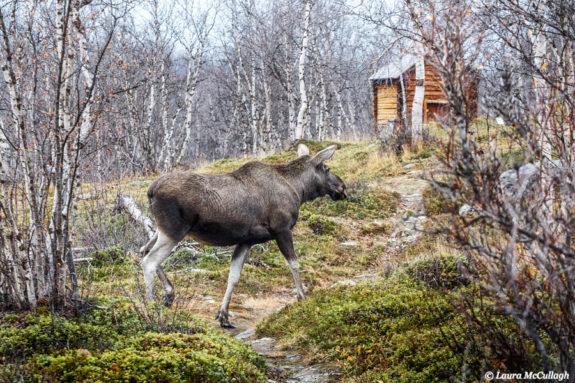 Abisko: wild moose